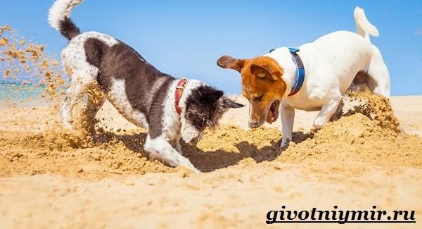 Рассел-терьер-собака-Описание-особенности-уход-и-цена-рассел-терьера-4