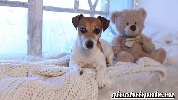 Рассел-терьер-собака-Описание-особенности-уход-и-цена-рассел-терьера-5