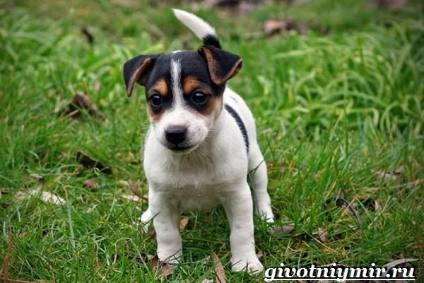 Рассел-терьер-собака-Описание-особенности-уход-и-цена-рассел-терьера-7