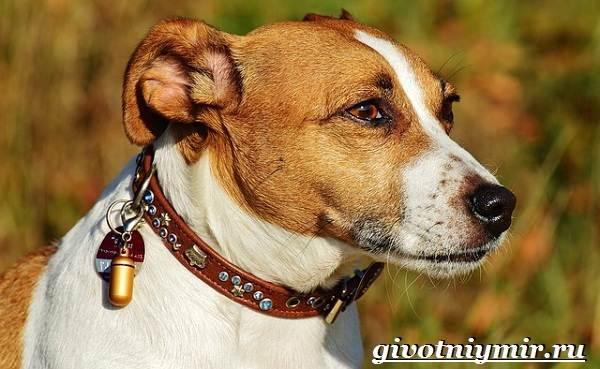 Рассел-терьер-собака-Описание-особенности-уход-и-цена-рассел-терьера-8