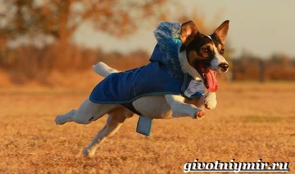 Рассел-терьер-собака-Описание-особенности-уход-и-цена-рассел-терьера-9