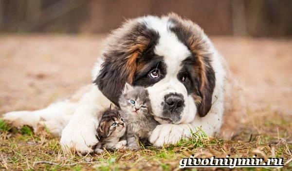 Сенбернар-собака-Описание-особенности-уход-и-цена-за-породой-сенбернар-1