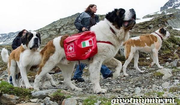 Сенбернар-собака-Описание-особенности-уход-и-цена-за-породой-сенбернар-10