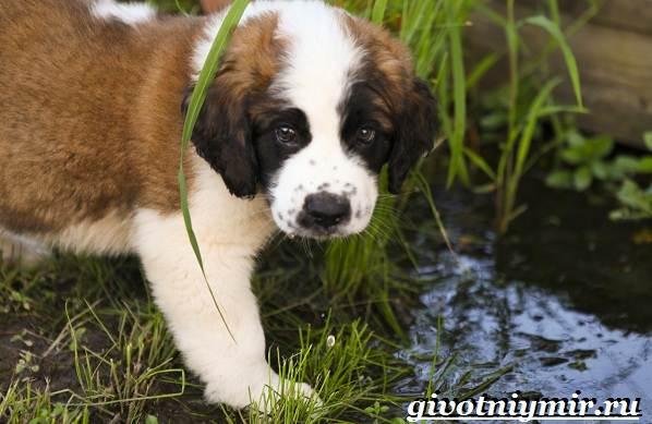 Сенбернар-собака-Описание-особенности-уход-и-цена-за-породой-сенбернар-2