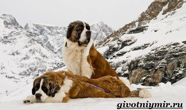 Сенбернар-собака-Описание-особенности-уход-и-цена-за-породой-сенбернар-3