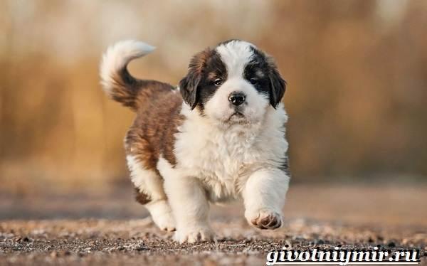 Сенбернар-собака-Описание-особенности-уход-и-цена-за-породой-сенбернар-4