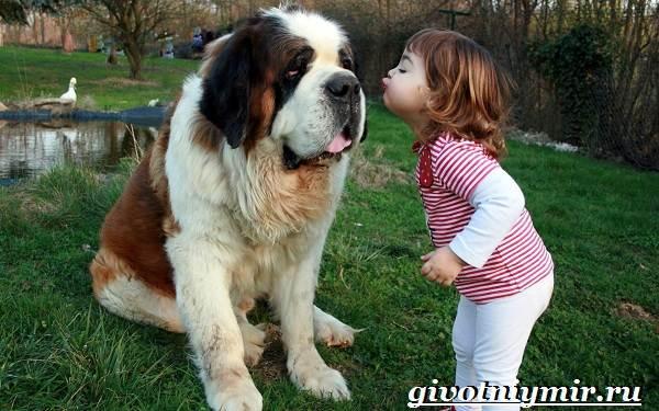 Сенбернар-собака-Описание-особенности-уход-и-цена-за-породой-сенбернар-8