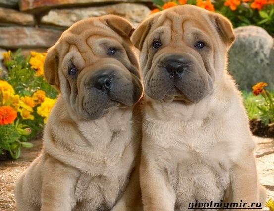 Шарпей-порода-собак-Описание-особенности-цена-и-уход-за-шарпеем-1