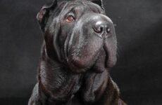 Шарпей порода собак. Описание, особенности, цена и уход за шарпеем