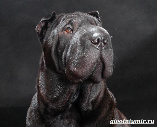 Шарпей-порода-собак-Описание-особенности-цена-и-уход-за-шарпеем-41