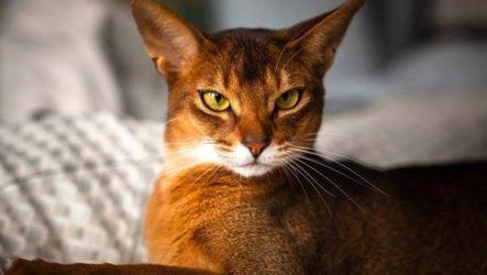 Абиссинская кошка. Описание, особенности, уход и цена породы