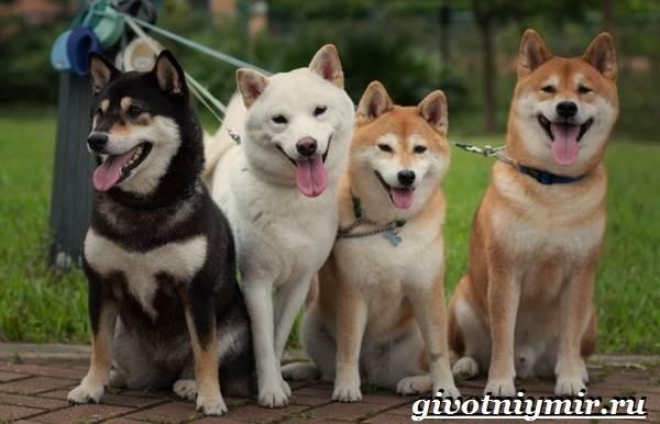 Акита-ину-собака-Описание-цена-и-уход-за-породой-акита-ину-4