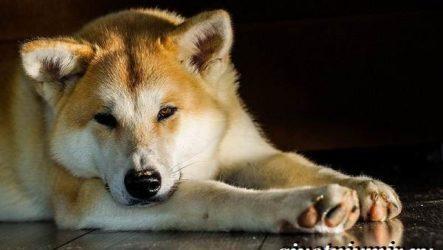 Акита ину собака. Описание, цена и уход за породой акита ину