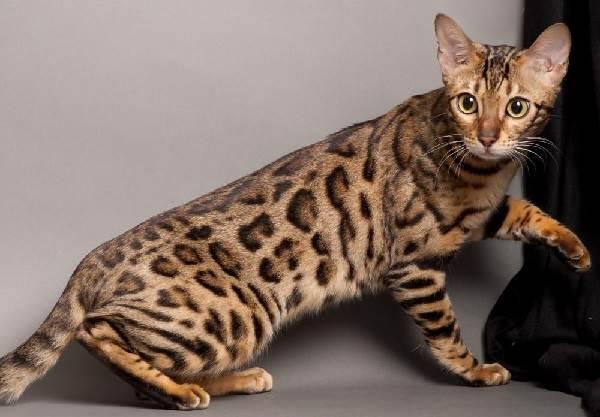 Бенгальский-кот-Описание-особенности-и-уход-за-бенгальским-котом-2