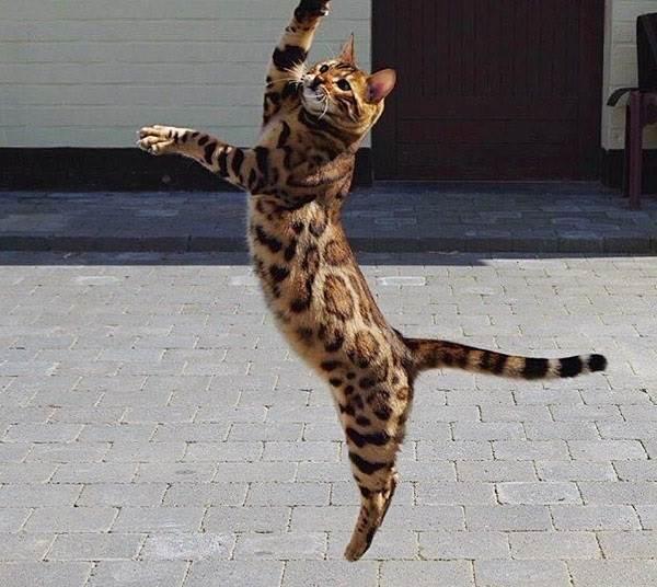 Бенгальский-кот-Описание-особенности-и-уход-за-бенгальским-котом-3