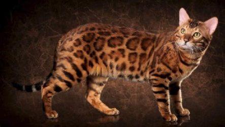 Бенгальский кот. Описание, особенности и уход за бенгальским котом