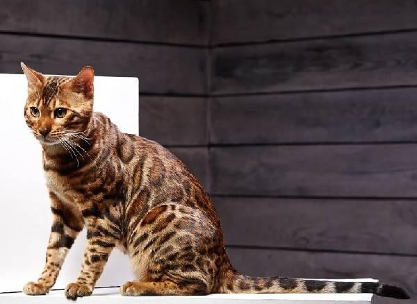 Бенгальский-кот-Описание-особенности-и-уход-за-бенгальским-котом-5