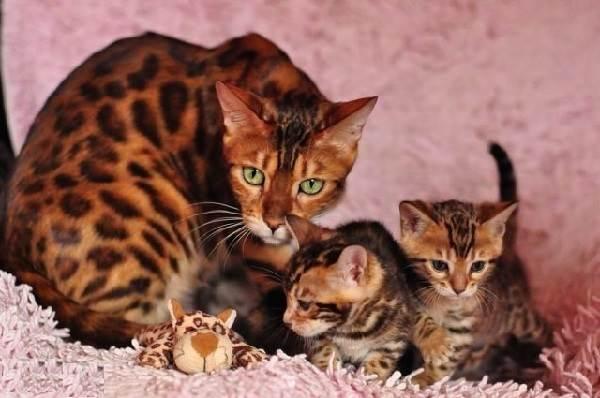 Бенгальский-кот-Описание-особенности-и-уход-за-бенгальским-котом-6