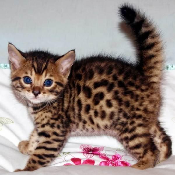 Бенгальский-кот-Описание-особенности-и-уход-за-бенгальским-котом-7