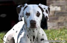 Далматин собака. Описание, особенности, уход и цена породы далматин
