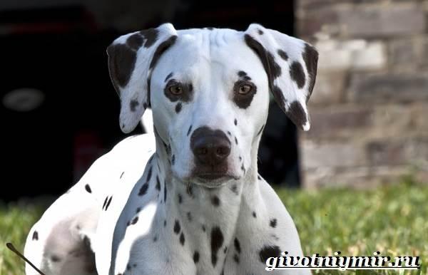 Далматин-собака-Описание-особенности-уход-и-цена-породы-далматин-1