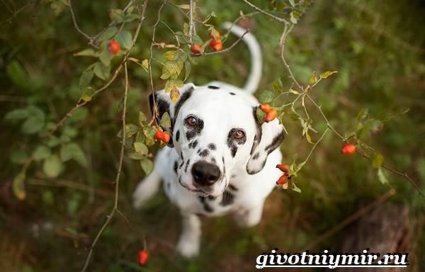 Далматин-собака-Описание-особенности-уход-и-цена-породы-далматин-2