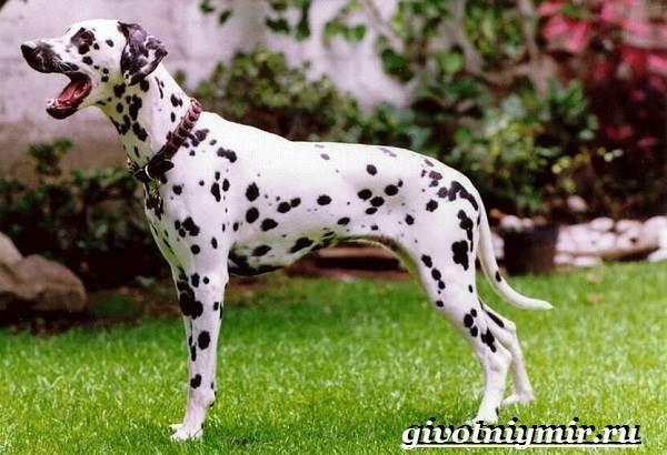 Далматин-собака-Описание-особенности-уход-и-цена-породы-далматин-3