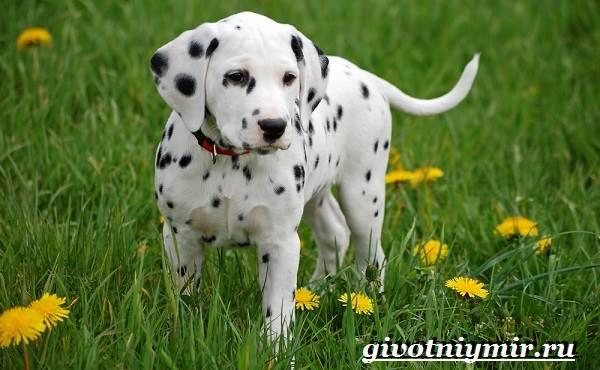 Далматин-собака-Описание-особенности-уход-и-цена-породы-далматин-4