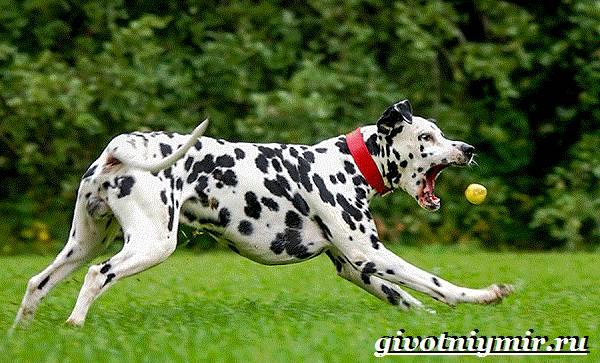 Далматин-собака-Описание-особенности-уход-и-цена-породы-далматин-5
