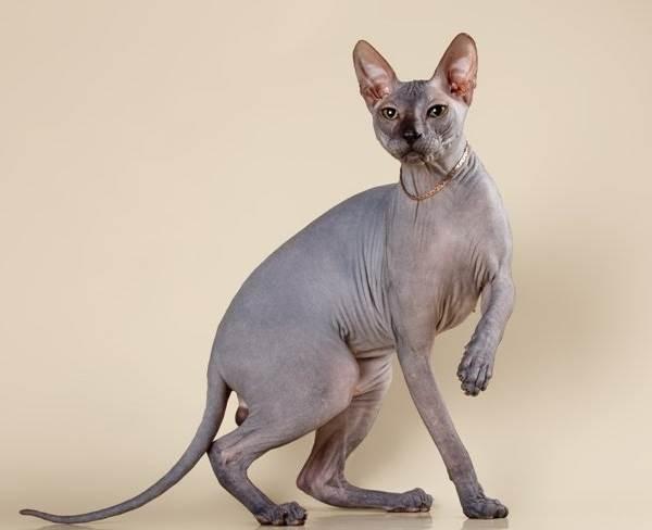 Донской-сфинкс-кошка-Описание-особенности-цена-и-уход-за-породой-2