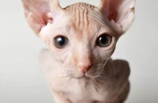 Донской сфинкс кошка. Описание, особенности, цена и уход за породой