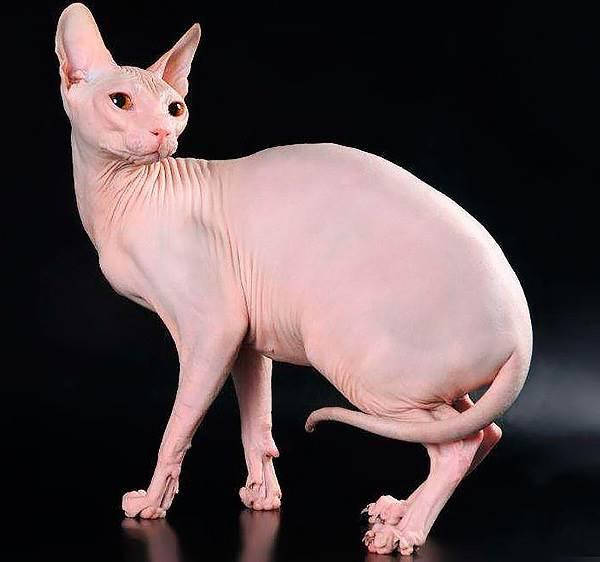 Донской-сфинкс-кошка-Описание-особенности-цена-и-уход-за-породой-4