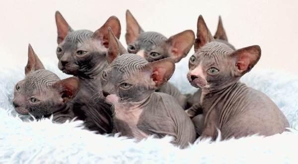 Донской-сфинкс-кошка-Описание-особенности-цена-и-уход-за-породой-5