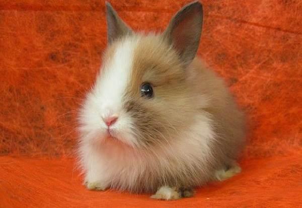 Карликовые-кролики-Описание-особенности-и-уход-за-карликовыми-кроликами-1