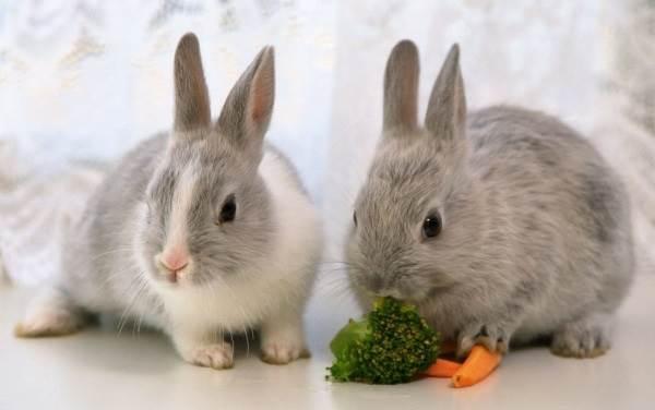 Карликовые-кролики-Описание-особенности-и-уход-за-карликовыми-кроликами-2