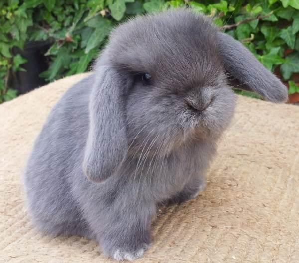 Карликовые-кролики-Описание-особенности-и-уход-за-карликовыми-кроликами-3