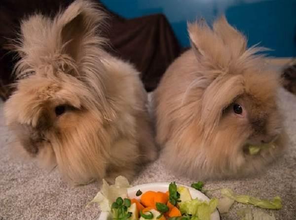 Карликовые-кролики-Описание-особенности-и-уход-за-карликовыми-кроликами-4