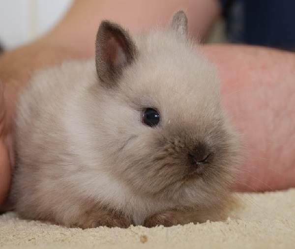 Карликовые-кролики-Описание-особенности-и-уход-за-карликовыми-кроликами-6