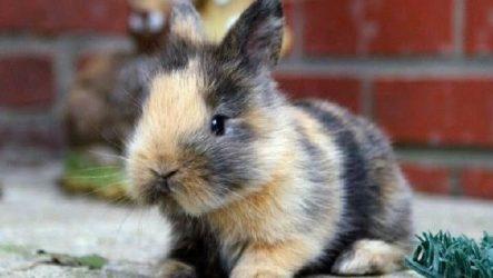 Карликовые кролики. Описание, особенности и уход за карликовыми кроликами