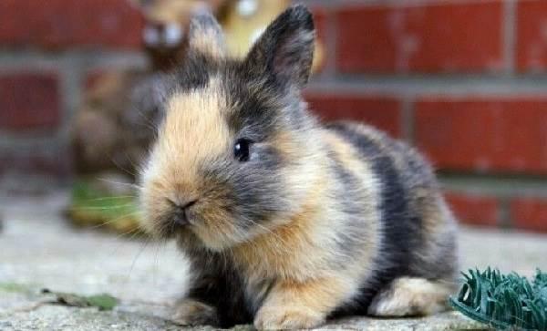 Карликовые-кролики-Описание-особенности-и-уход-за-карликовыми-кроликами-7