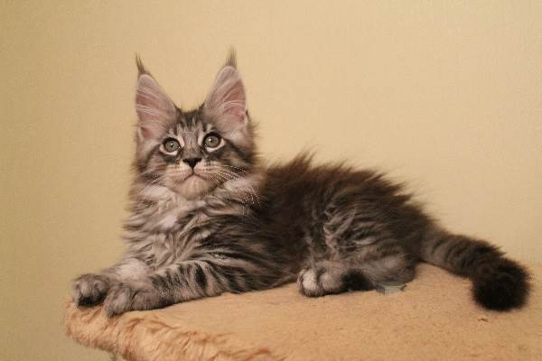 Мейн-кун-кошка-Описание-особенности-цена-и-уход-за-породой-1