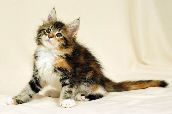 Мейн-кун-кошка-Описание-особенности-цена-и-уход-за-породой-2