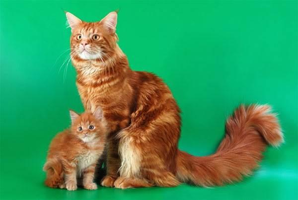 Мейн-кун-кошка-Описание-особенности-цена-и-уход-за-породой-3
