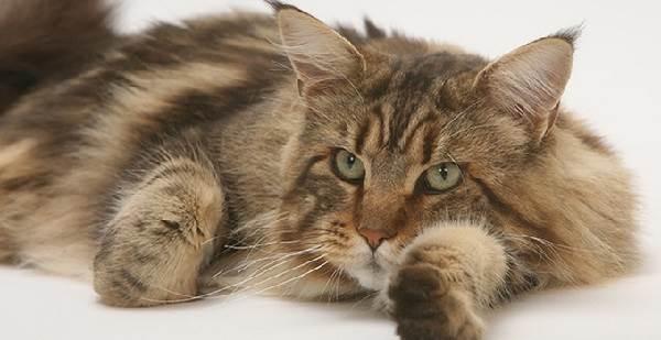 Мейн-кун-кошка-Описание-особенности-цена-и-уход-за-породой-4