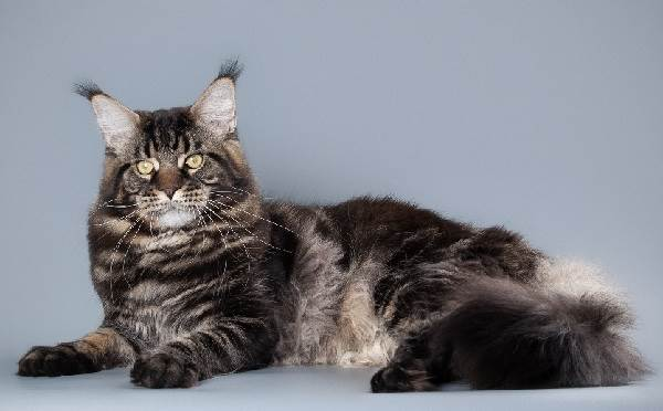 Мейн-кун-кошка-Описание-особенности-цена-и-уход-за-породой-5