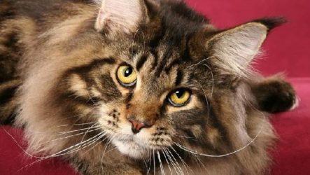 Мейн кун кошка. Описание, особенности, цена и уход за породой