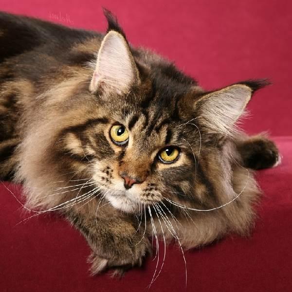 Мейн-кун-кошка-Описание-особенности-цена-и-уход-за-породой-6