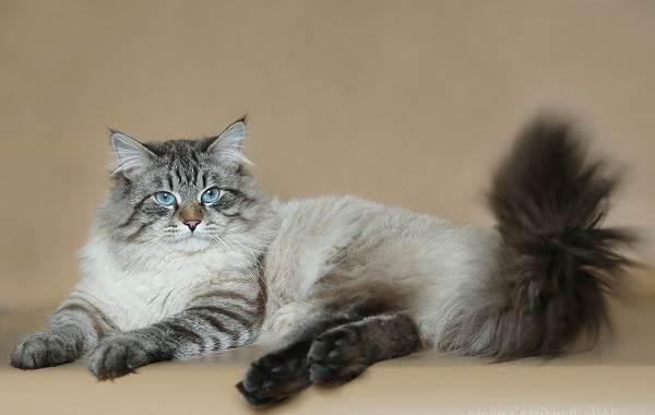 Невская-маскарадная-кошка-Описание-особенности-цена-и-уход-за-породой-1