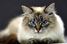 Невская маскарадная кошка. Описание, особенности, цена и уход за породой