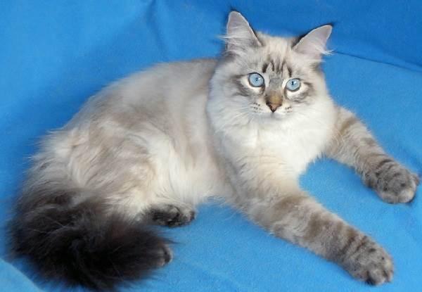 Невская-маскарадная-кошка-Описание-особенности-цена-и-уход-за-породой-4